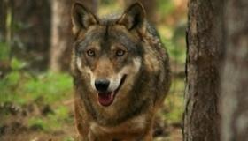 La presenza del lupo in Lessinia