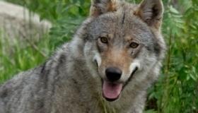 Presentazione del progetto Life WolfAlps