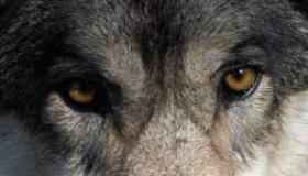 Informazioni sul lupo