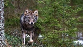 Ordinanza lupi: WWF passa ad azione legale