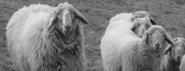 Malga Derocon dalla lana sucida al filo: cardare e filare la lana